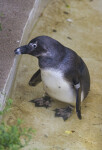 Bent Penguin Standing in Shallow Water at the Artis Royal Zoo