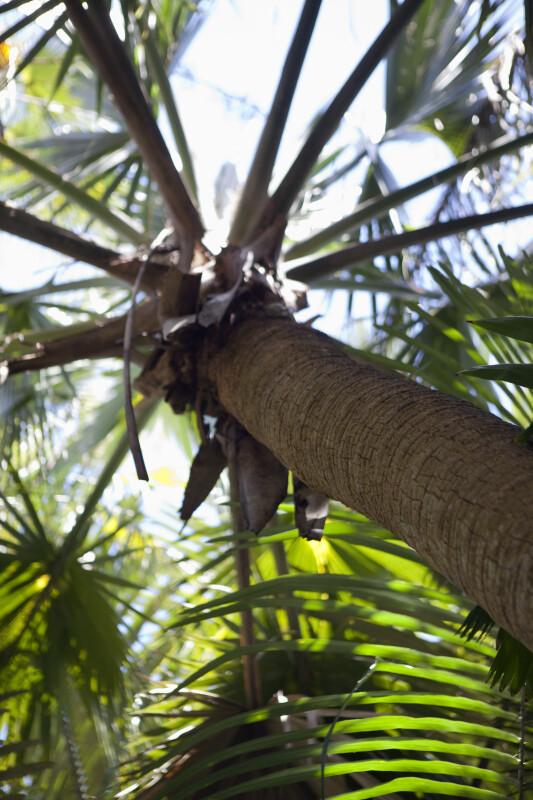 Bermuda Fan Palm Trunk