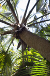 Bermuda Fan Palm Trunk