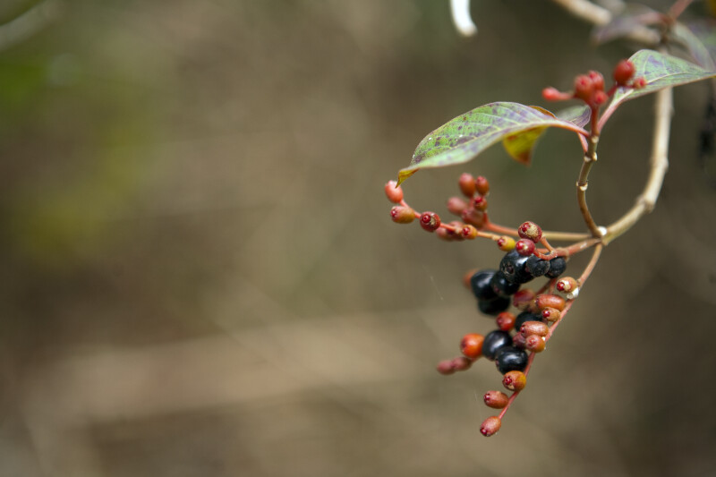 Berries of the Firebush