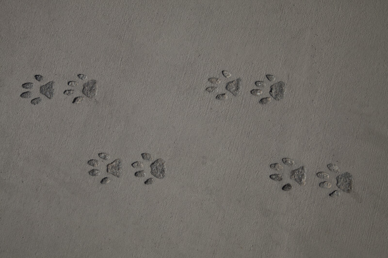 Big Cat Footprints on Sidewalk at the Big Cypress National Preserve
