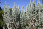 Big Sagebrush Branches