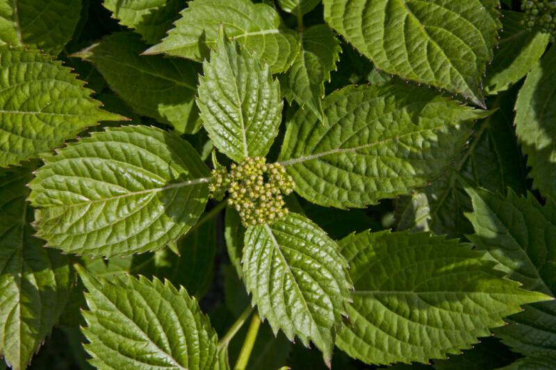 Bigleaf Hydrangea 'Blue Billow' Leaves and Flower Buds