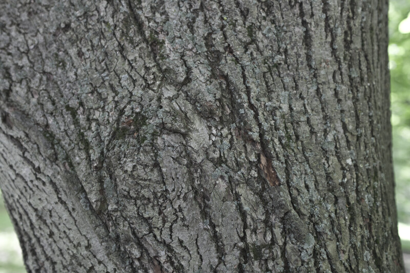 Bigleaf Linden Bark | ClipPix ETC: Educational Photos for Students and  Teachers