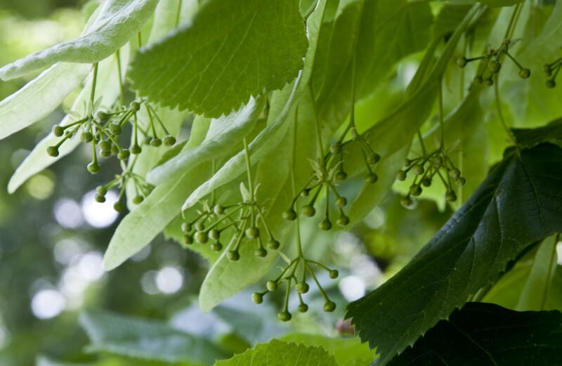 Bigleaf Linden Berries and Leaves