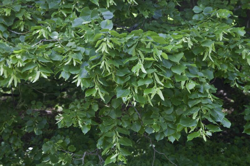 Bigleaf Linden Foliage