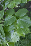 Bigleaf Linden Serrated Leaves
