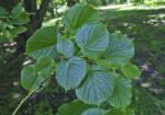Bigleaf Linden Toothed Leaves