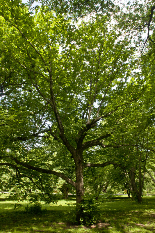 Bigleaf Linden Tree at the Arnold Arboretum of Harvard University