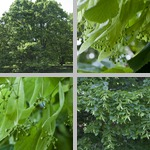 Bigleaf Linden Trees photographs