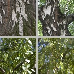 Birch Trees photographs
