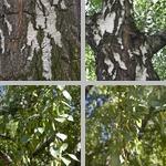 Birch Trees photographs