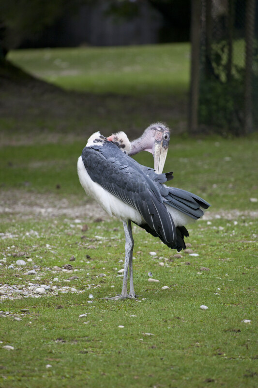 Bird Grooming Itself