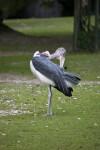 Bird Grooming Itself