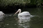 Bird Making its Way Through Water at the Artis Royal Zoo