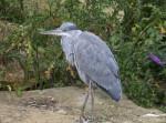 Bird with Grey Coloring at the Artis Royal Zoo