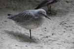 Bird with Grey Feathering and Black Beak