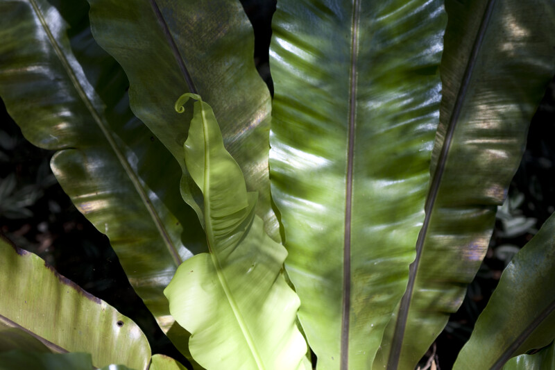 Bird's Nest Fern Frond