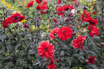 Bishop of Llandaff Dahlia