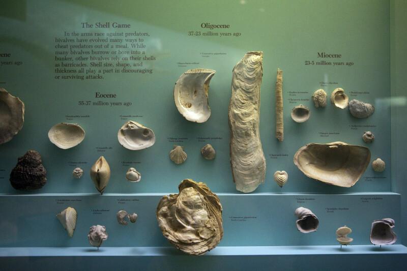 Bivalve Shells from Eocene, Oligocene,