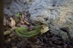 Black and Green Speckled Pit Viper
