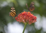 Black and Orange Butterfly Landing on Plant with Red Flower Buds