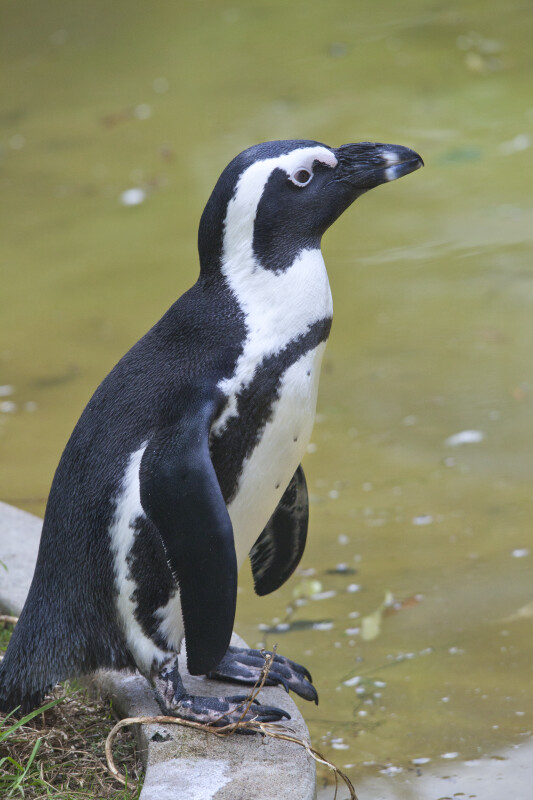 Black and White Penguin Standing on a Ledge at the Artis Royal Zoo