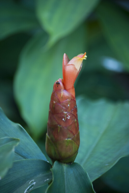 Black Ant on Red Flower Bud of Costus