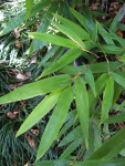 Black Bamboo Leaves