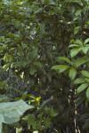 Black Bead Branches