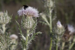 Black Bee Atop Horrible Thistle Flower