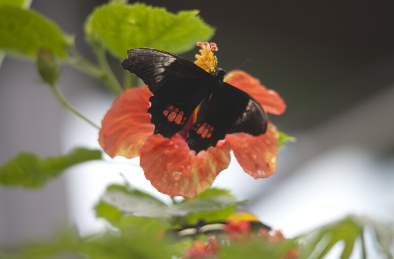Black Butterfly Pollinating a Hibiscus Flower