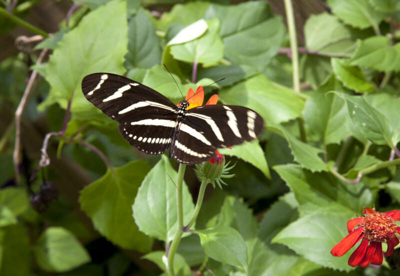 Black Butterfly with Multiple White Stripes Resting on a Flower
