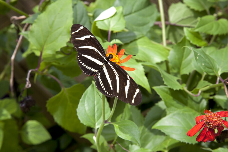 Black Butterfly with White Stripes Feeding on Nectar from a Flower