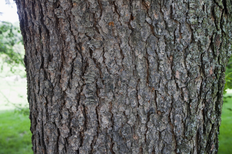 "Black Cherry ""Cartilaginea"" Tree Bark"