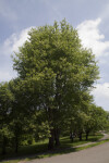 "Black Cherry ""Cartilaginea"" Tree"