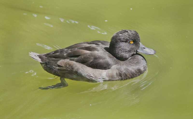 Black Duck With Yellow Eyes