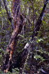 Black Ironwood (Kruglodendron ferreum) Tree Trunck