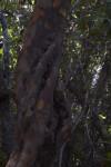 Black Ironwood Trunk Twisst