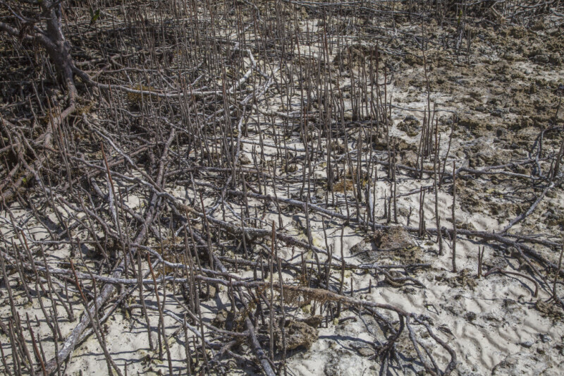 Black Mangrove Pneumatophores at Biscayne National Park