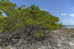Black Mangrove Roots and Trees Growing at Biscayne National Park