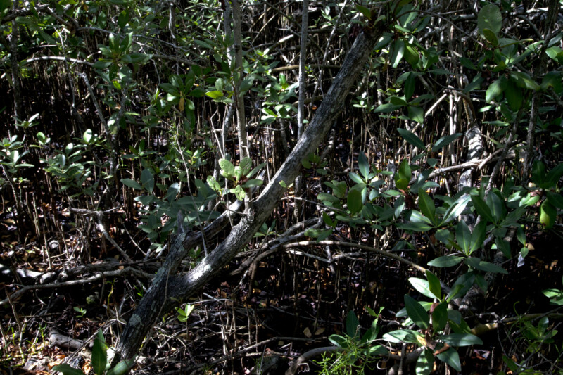 Black Mangrove Tree at Windley Key Fossil Reef Geological State Park