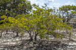 Black Mangrove Trees and Pneumatophores