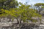 Black Mangrove Trees and Pneumatophores