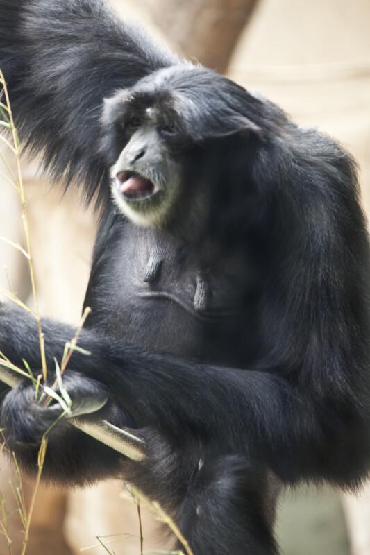 Black Primate Sitting