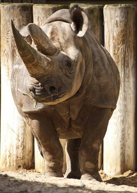 Black Rhinoceros by Posts