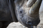 Black Rhinoceros Detail