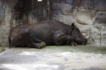 Black Rhinoceros Sleeping