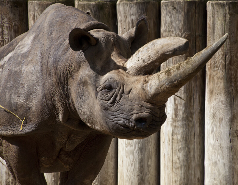 Black Rhinoceros Standing