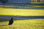 Black Vulture at Campgrounds